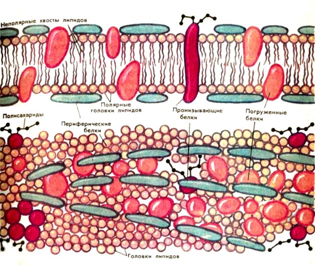 Схема строения мембран