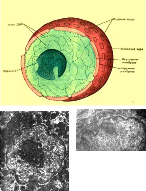 Строение ядра