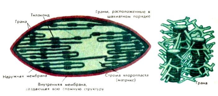 Схема строения хлоропласта и