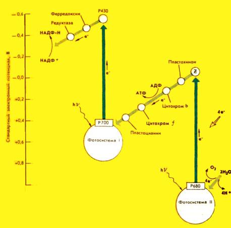 Схема процессов фотосинтеза