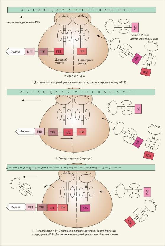 Схема синтеза белка на .