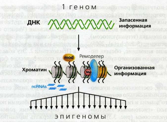 Хроматин фото