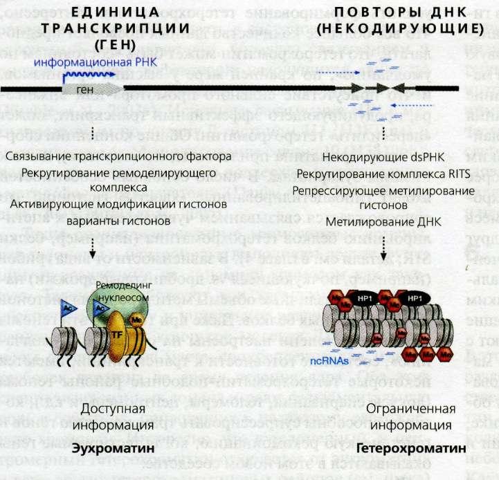 Протоонкоген фото