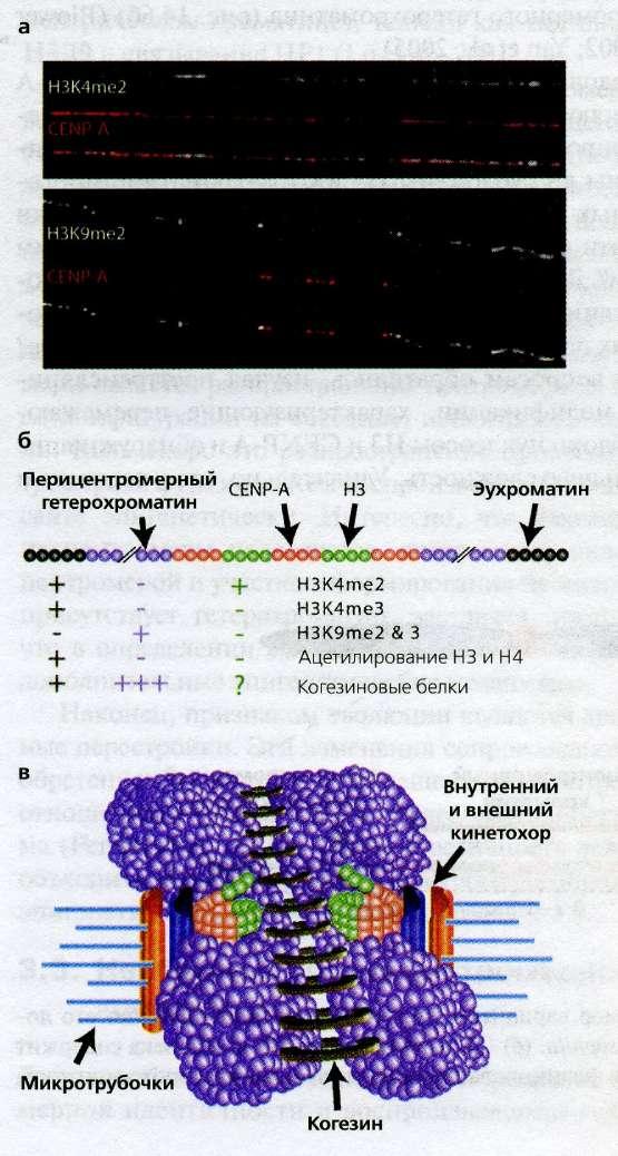 Клетка Кроветворная Стволовая