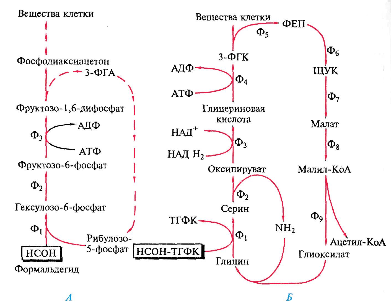 Фосфофруктокиназа фото