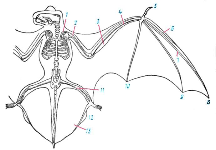 Схема скелета летучей мыши