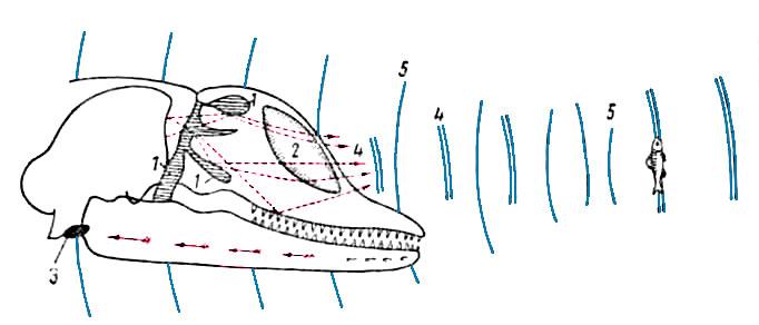 Схема эхолокации дельфина