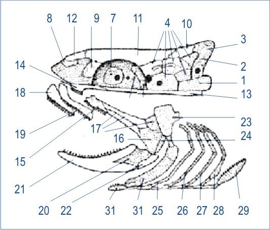 Схема строения черепа