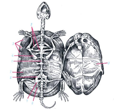 Млекопитающие i 1 скелет кролика vc