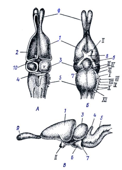 Тело Полосатое фото