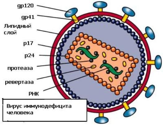 ...против ВИЧ обладают высокой эффективностью, вирусу удается избежать полного уничтожения клетками иммунной системы.